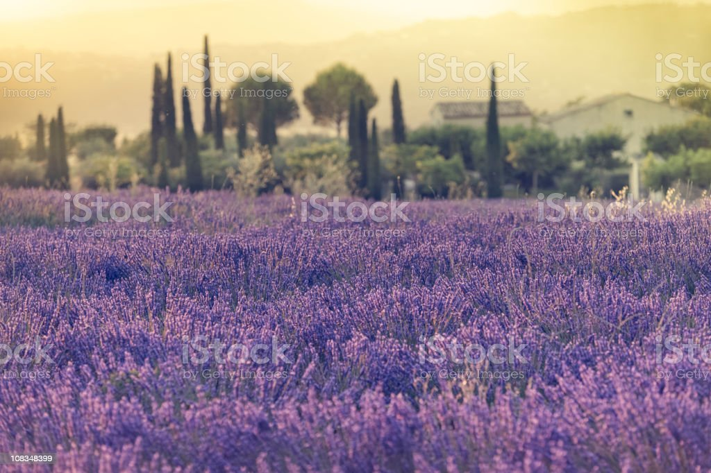 Lavender field during sunset stock photo