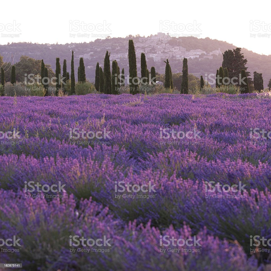 Lavender field during sunset royalty-free stock photo