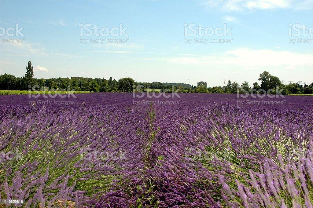 Lavender field in Drôme Provencale stock photo