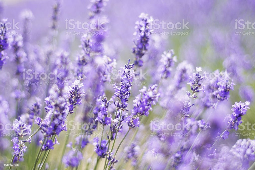 Lavender field in Japan stock photo