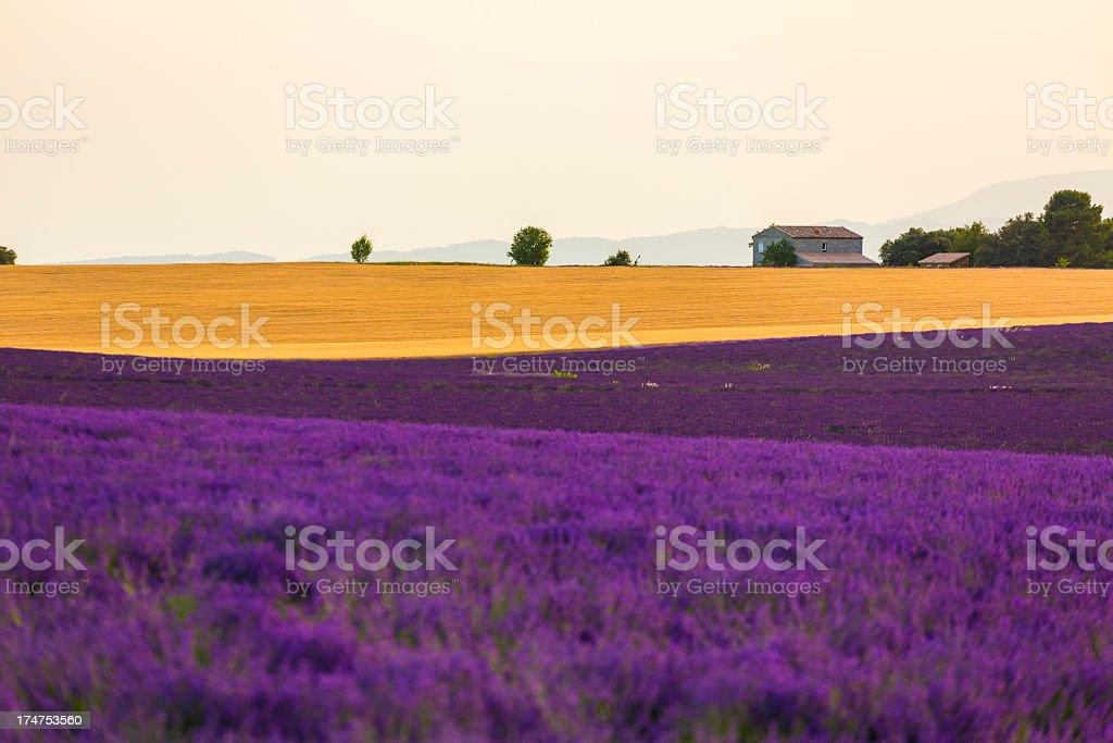 Lavender field in Provence, France. royalty-free stock photo
