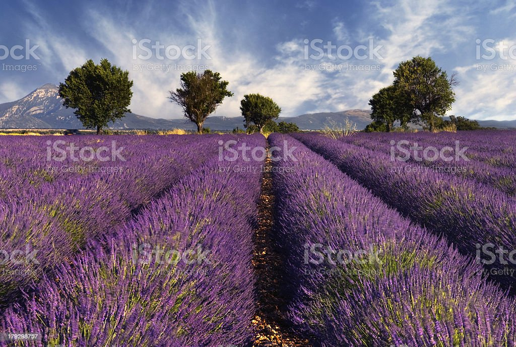 Lavender field in Provence, France stock photo