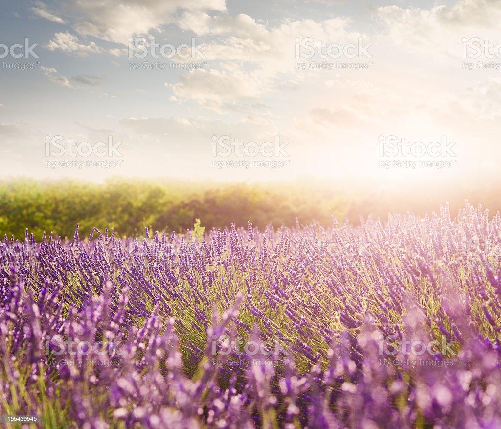 Lavender field in Provence stock photo