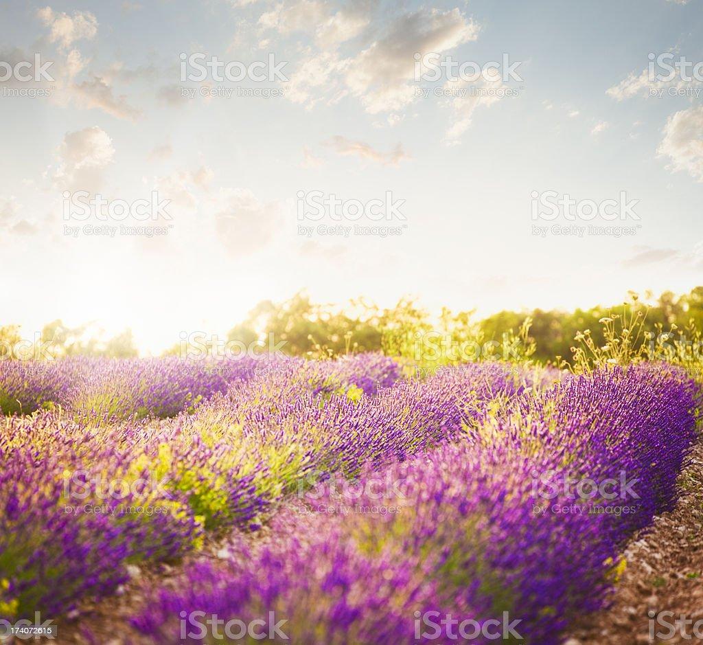 Lavender field in sunny day stock photo