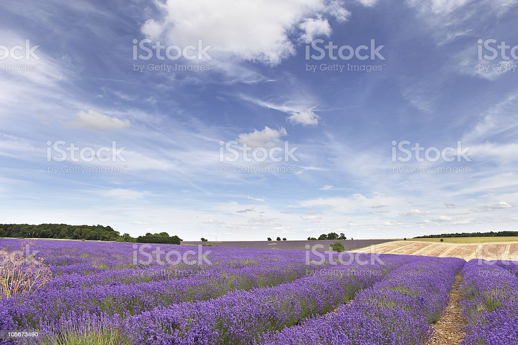 Lavender field in the Cotswolds royalty-free stock photo