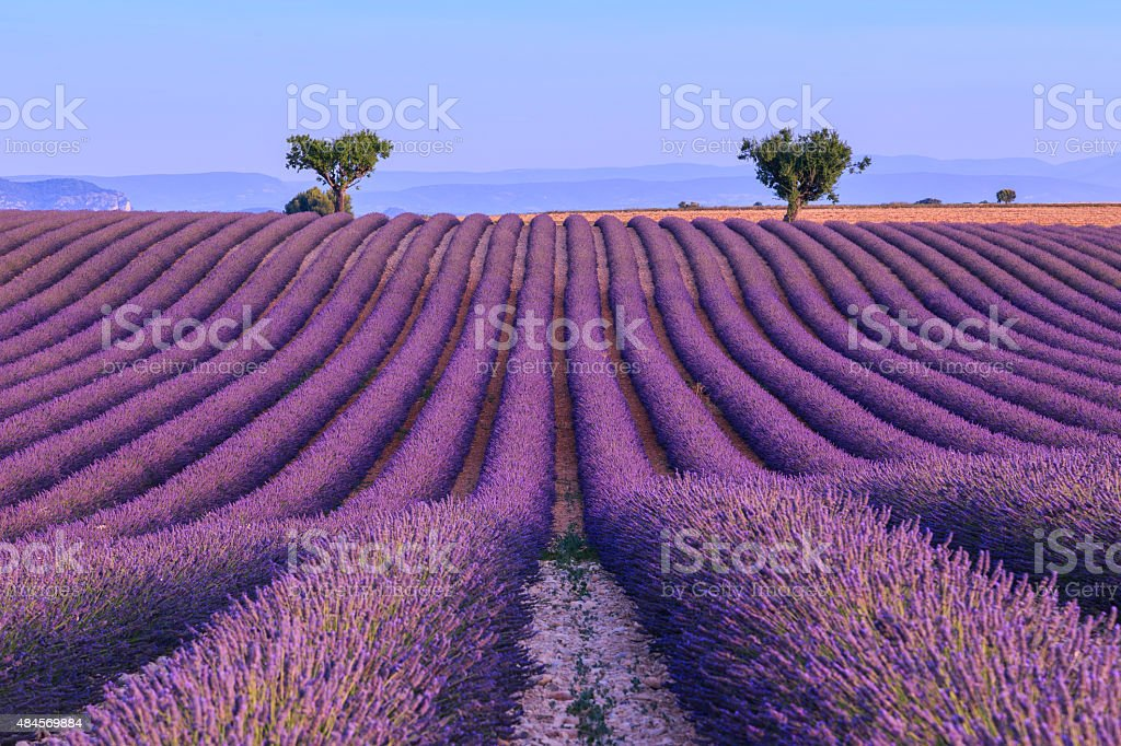 Lavender field in the summer-France stock photo