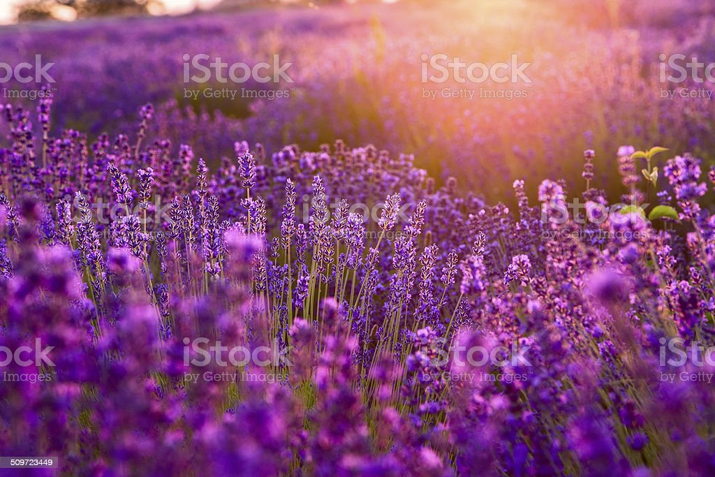 Lavender field in Tihany, Hungary stock photo