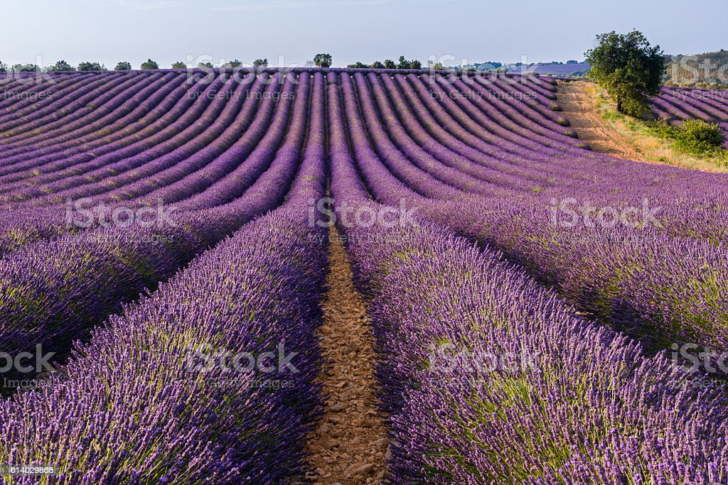 Lavender field in Valensole plateau, Provence (France) stock photo