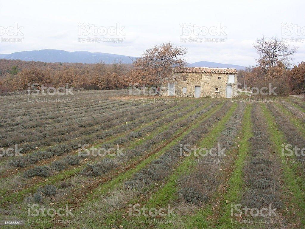 lavender field in winter stock photo