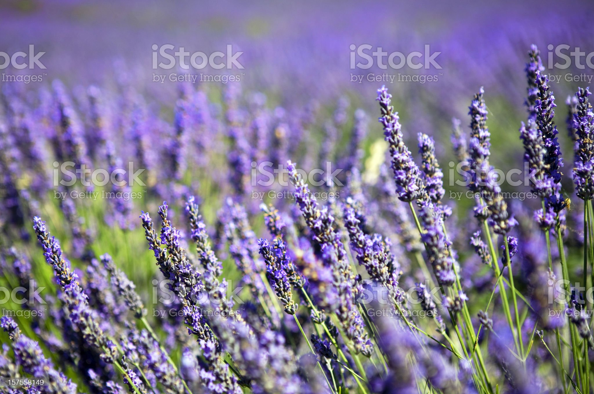 Lavender Field Macro in Provence royalty-free stock photo