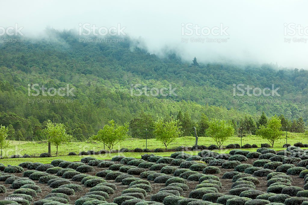 Lavender Field, Meadow, Fog in Hills, Hawaii stock photo
