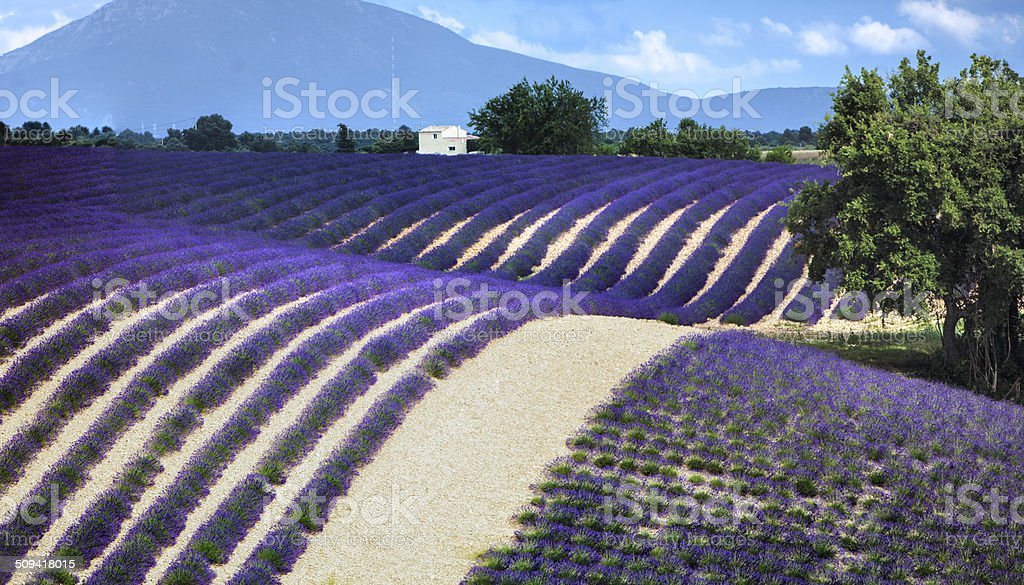 Lavender field panorama stock photo