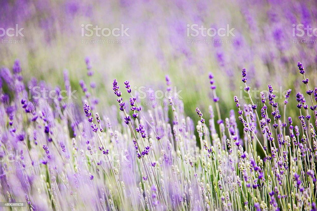 Lavender field stock photo