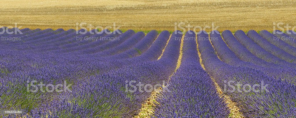 Lavender field, Provence, France royalty-free stock photo