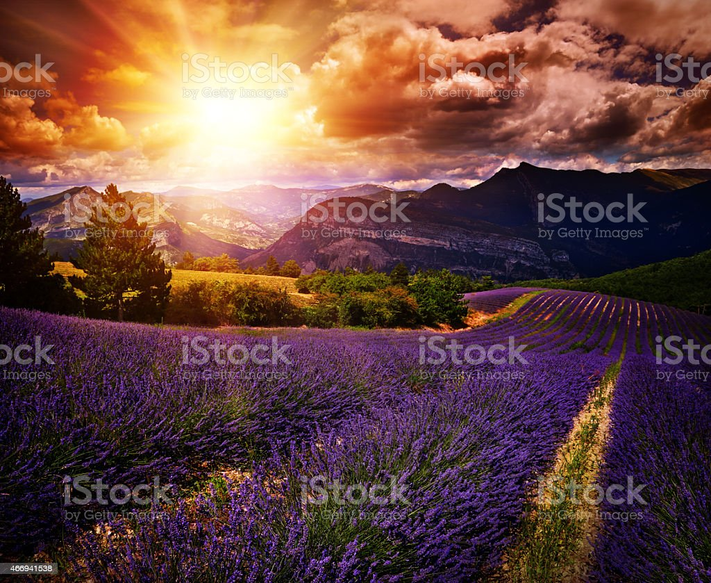 lavender field Summer sunset landscape stock photo