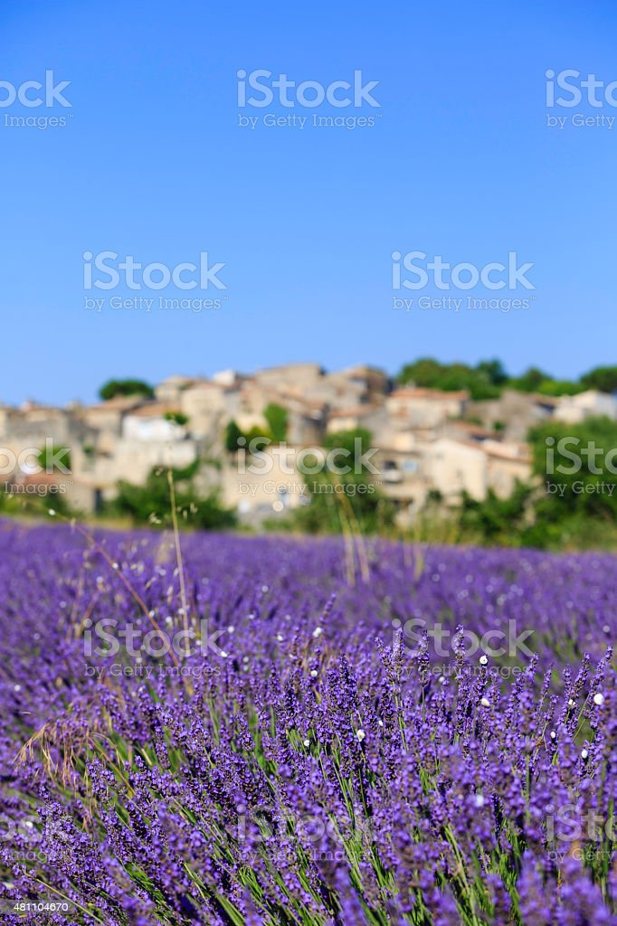 lavender field with a small town (focus on foreground) stock photo