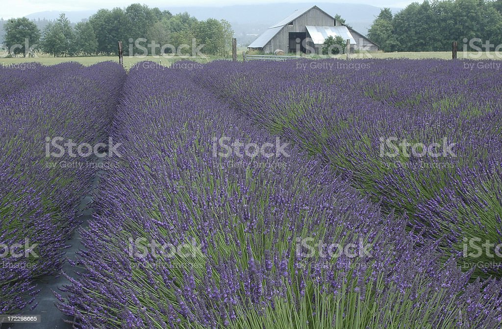 Lavender field with barn royalty-free stock photo
