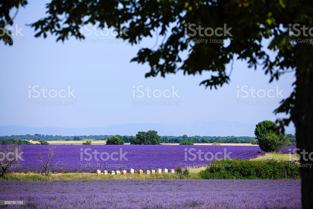 lavender field with beehives stock photo