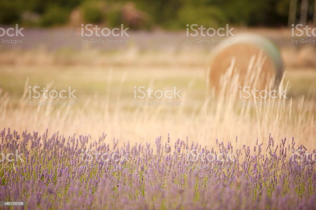 Lavender field with hay roll on the backround stock photo