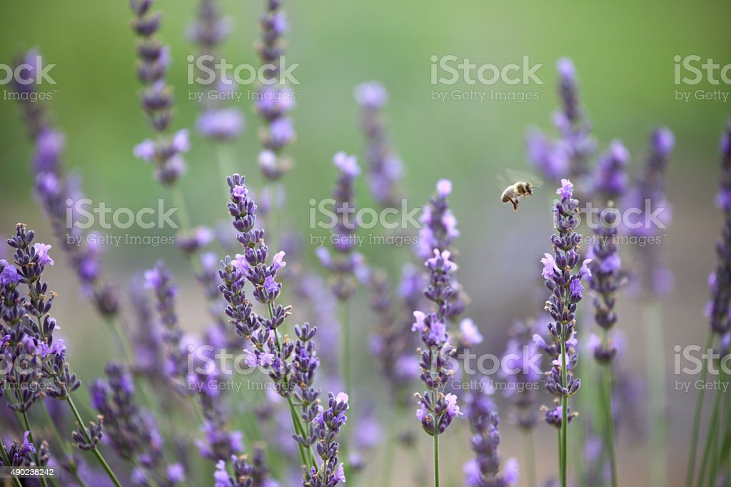 Lavender Field with Honey Bee Shallow Depth of Field stock photo