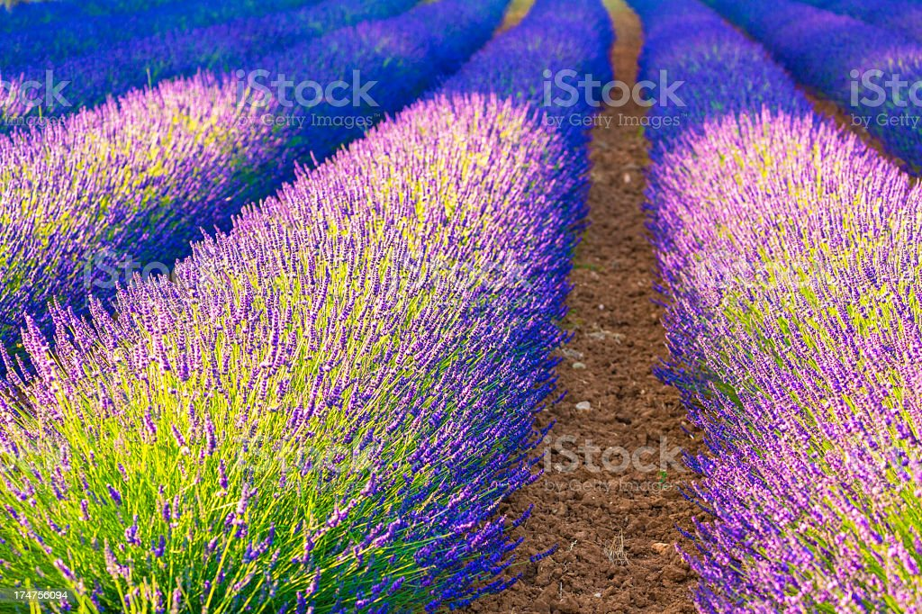 Lavender field with rows of blooming flowers royalty-free stock photo