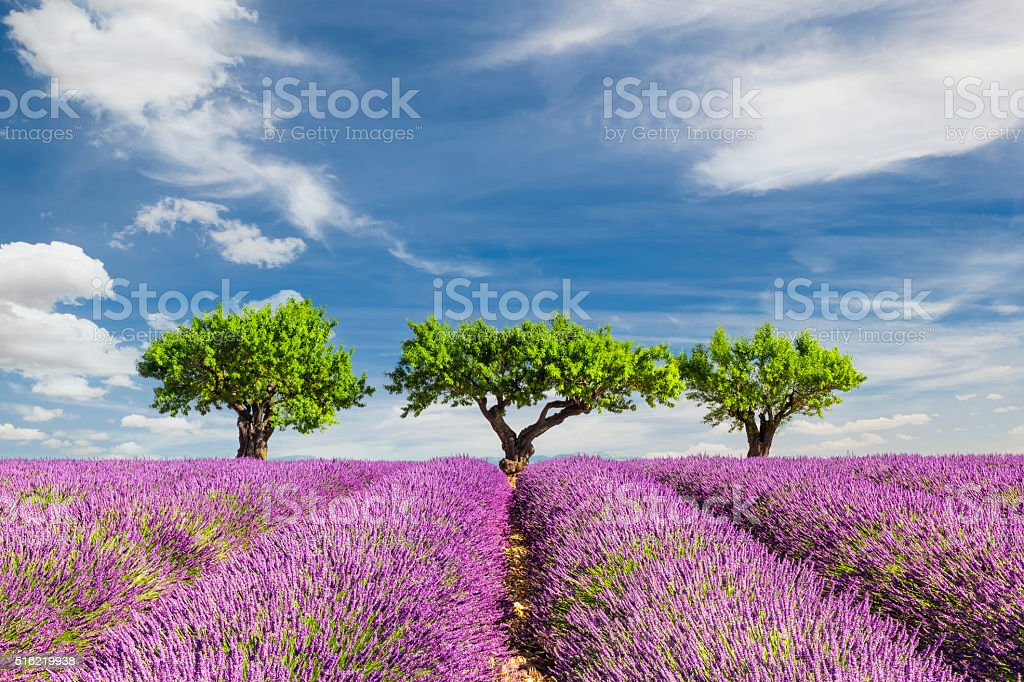 Lavender field with three trees stock photo