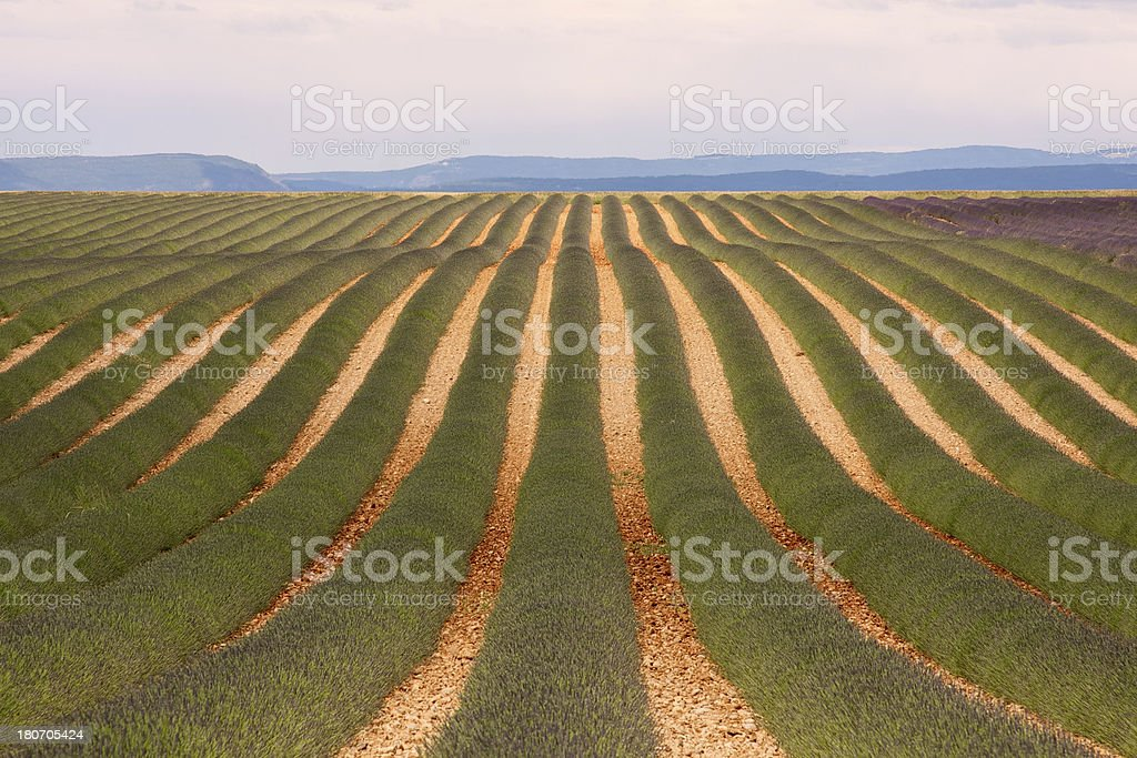 Lavender fields before full bloom. Valensole-France stock photo