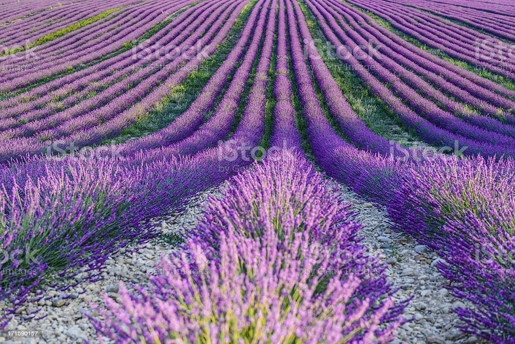 Lavender fields - close up stock photo