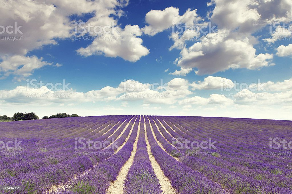 lavender fields in Provence royalty-free stock photo