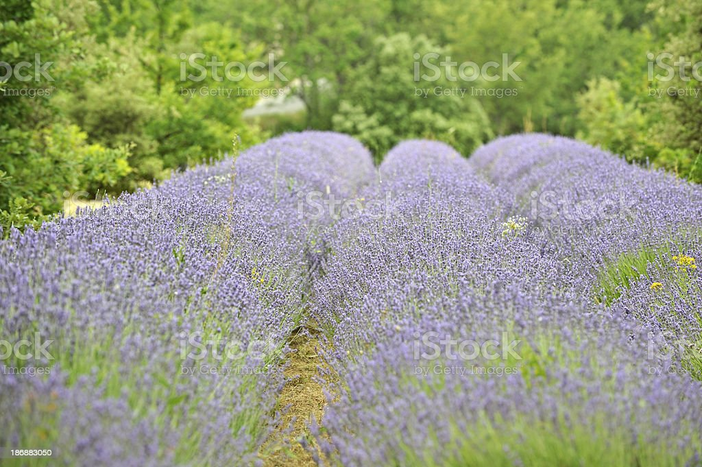 Lavender fields in Roussilon, France royalty-free stock photo