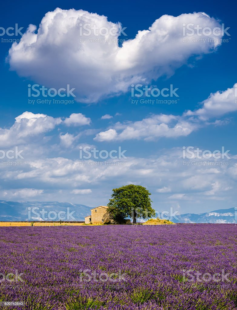 Lavender fields in the heart of Valensole, Southern France stock photo