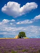 Lavender fields in the heart of Valensole, Southern France