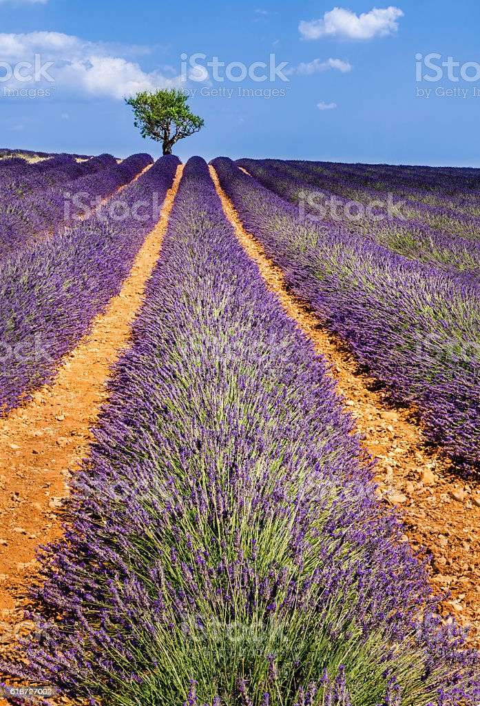 Lavender fields in Valensole with olive trees. Provence, France stock photo