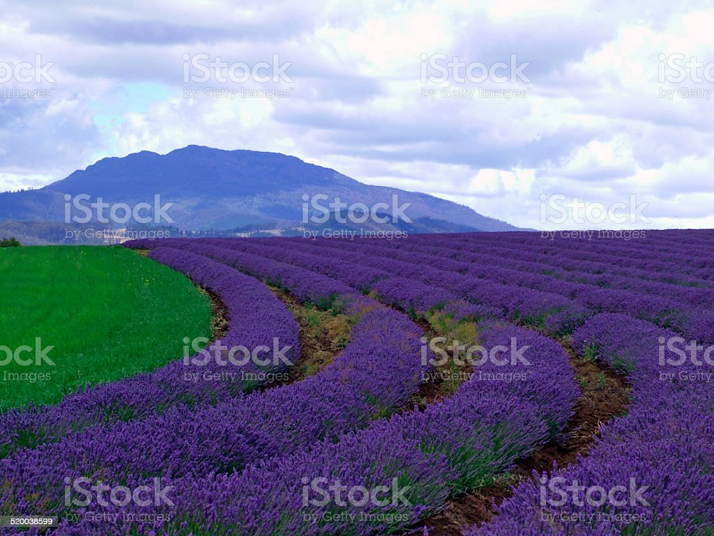Lavender fields, Tasmania stock photo