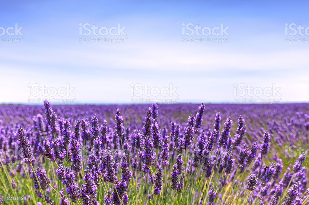 Lavender flower blooming fields horizon. Valensole Provence, Fra stock photo