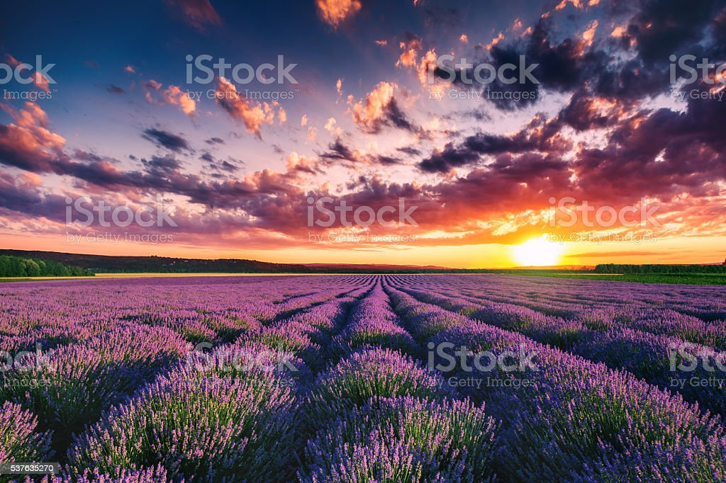 Lavender flower blooming fields in endless rows. Sunset shot. stock photo