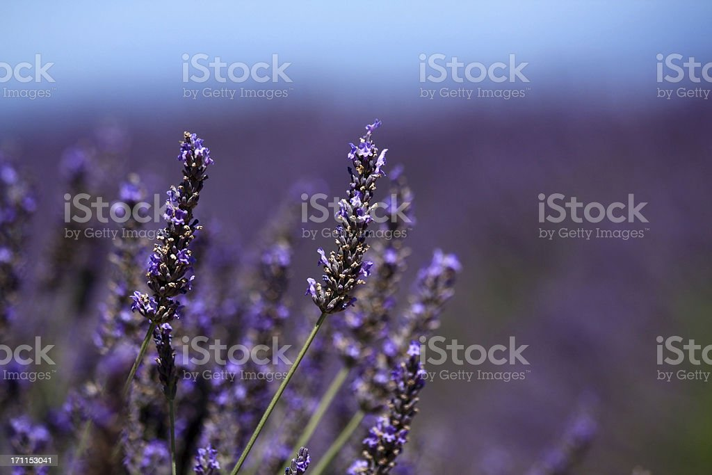 Lavender flower close up royalty-free stock photo