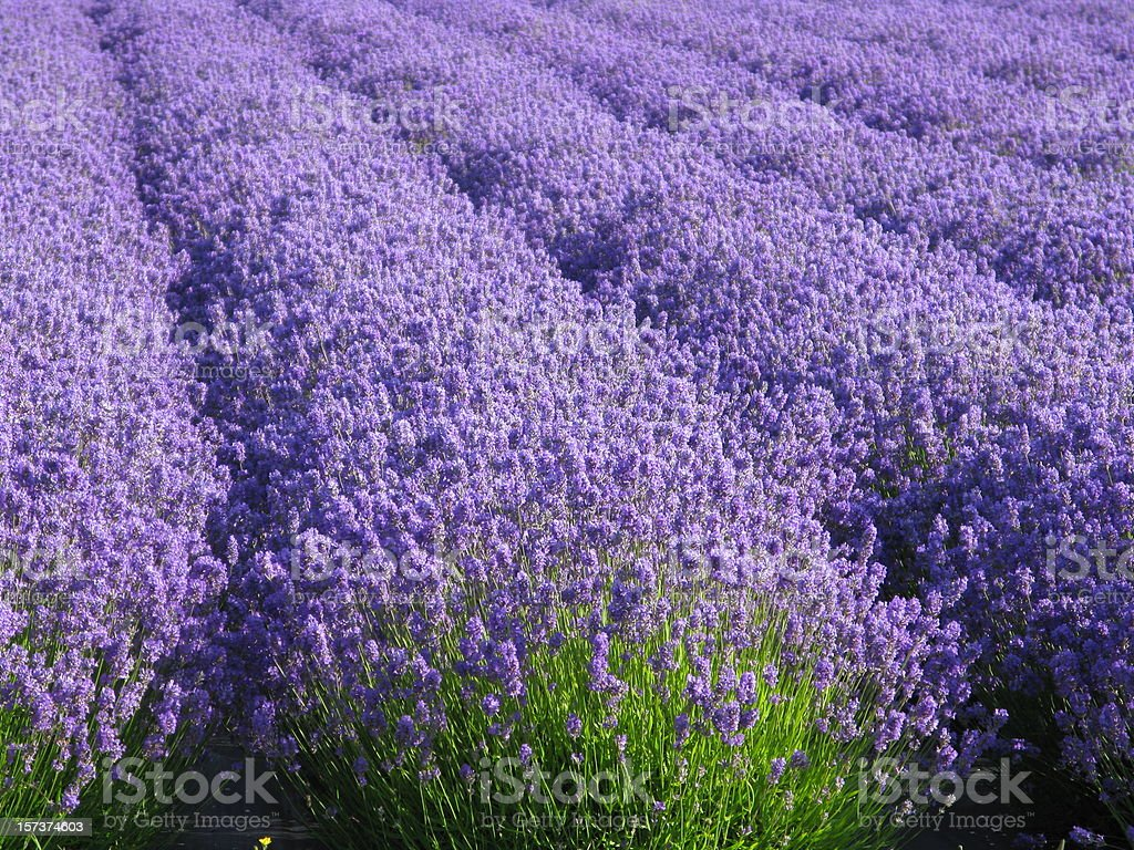 Lavender Flower Field  Purple Lavandula royalty-free stock photo