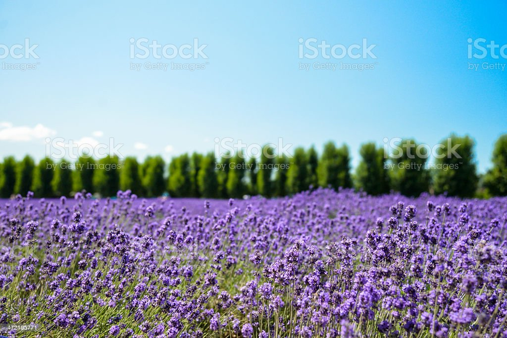 Lavender flower field with blue sky1 stock photo