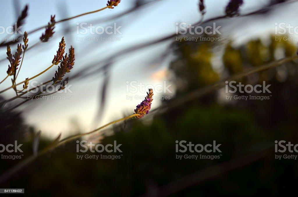 lavender flower in evening sunlight stock photo