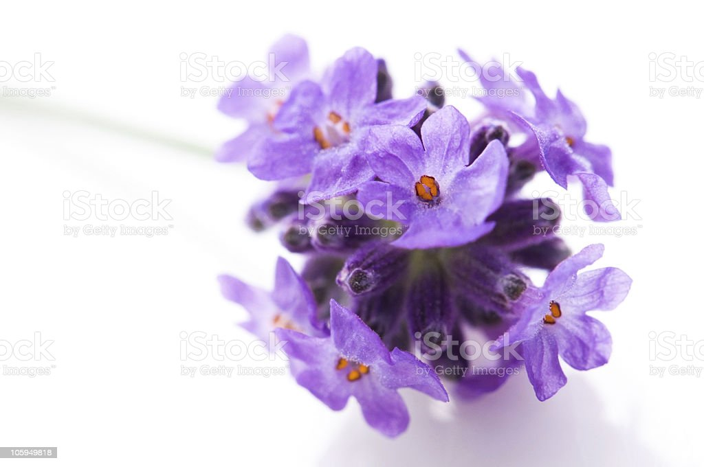 lavender flower on the white background royalty-free stock photo