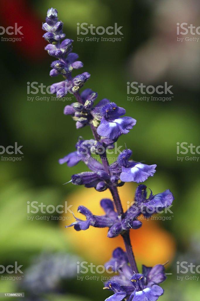 Lavender flower royalty-free stock photo