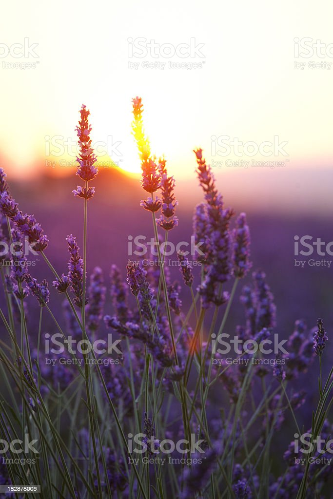 Lavender Flowers and Sunset stock photo