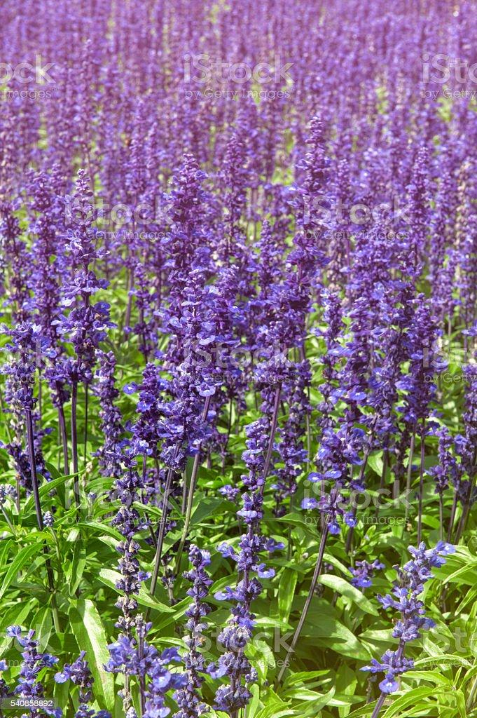 Lavender flowers at Wellington Botanic Garden, New Zealand stock photo