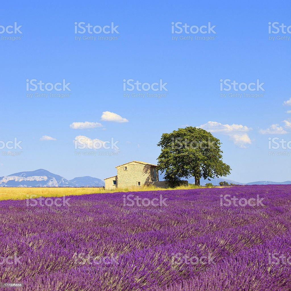 Lavender flowers blooming field, house and tree. Provence, France royalty-free stock photo