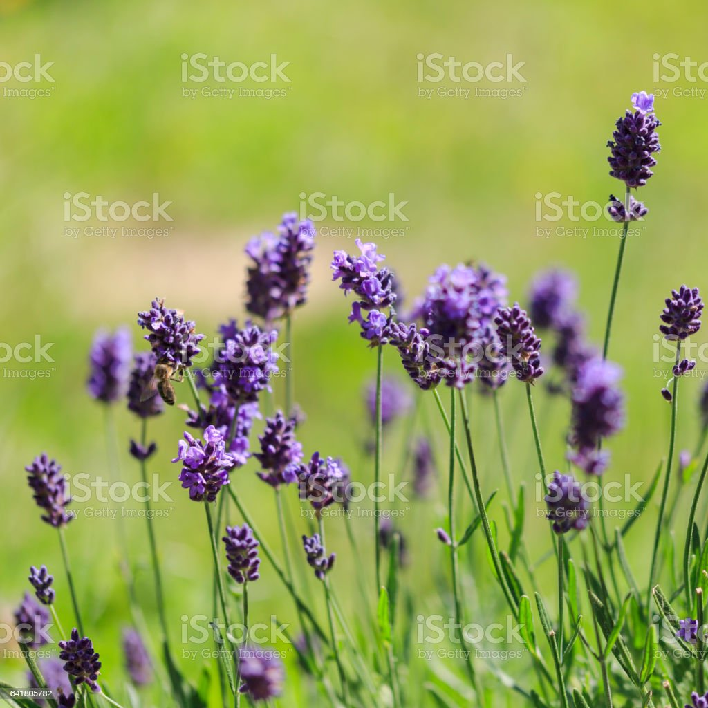 Lavender flowers close up in garden stock photo