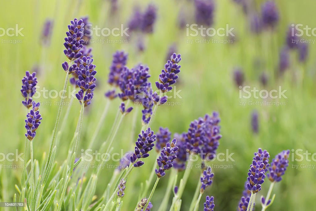 Lavender Flowers in Bloom royalty-free stock photo