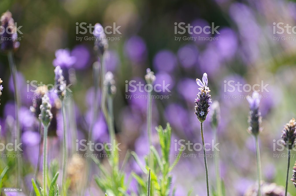 Lavender flowers in Cape Town, South Africa. stock photo