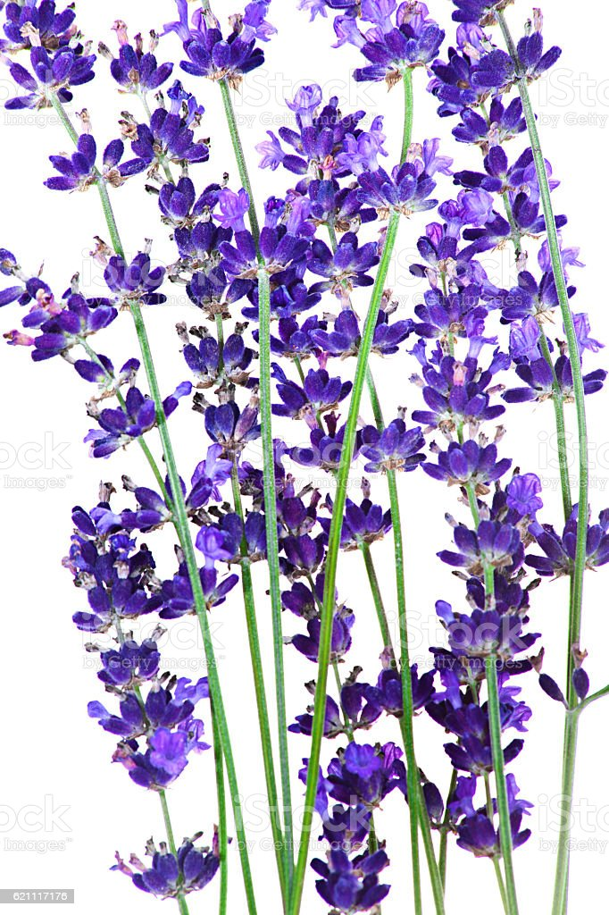 Lavender flowers in closeup isolated on white stock photo