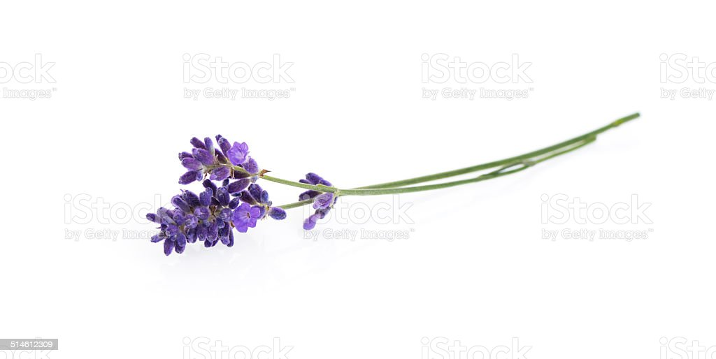 Lavender flowers isolated on white stock photo